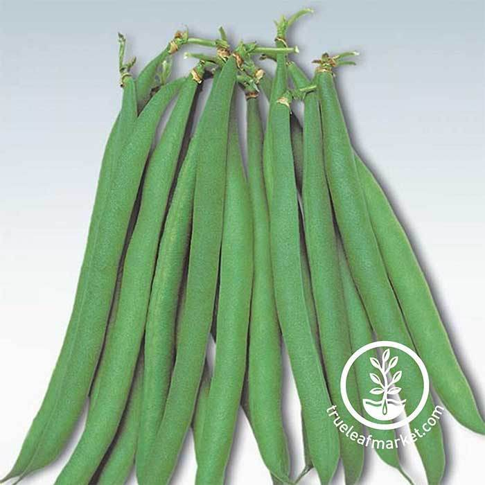 Masai Heirloom Bush Beans
