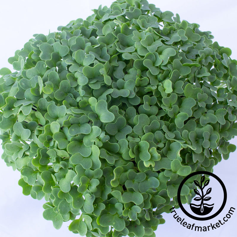 mizuna lime streaks microgreens close up
