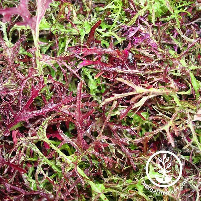 Mustard - Mizuna Red Streaks Garden and Microgreen Seed