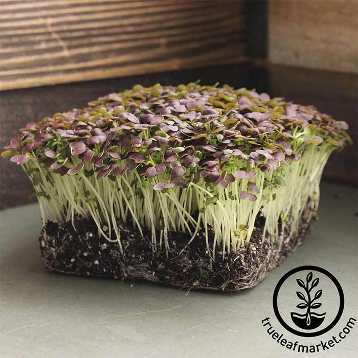 Mustard - Red Garnet - Microgreens Seeds