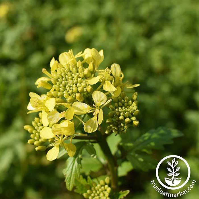 Mustard Seeds - White Gold  - Mighty Mustard® - Cover Crop