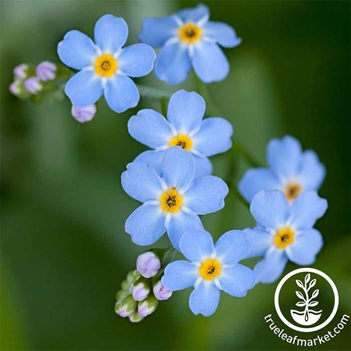 Myosotis Forget Me Not Compindi Seeds