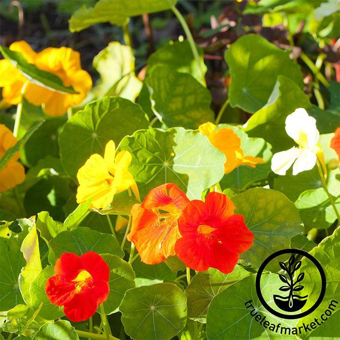 Nasturtium Flowers from Seeds