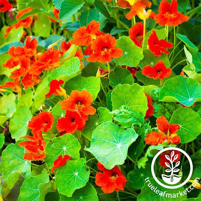 Nasturtium Edible Flower Seeds - Empress of India Full Grown