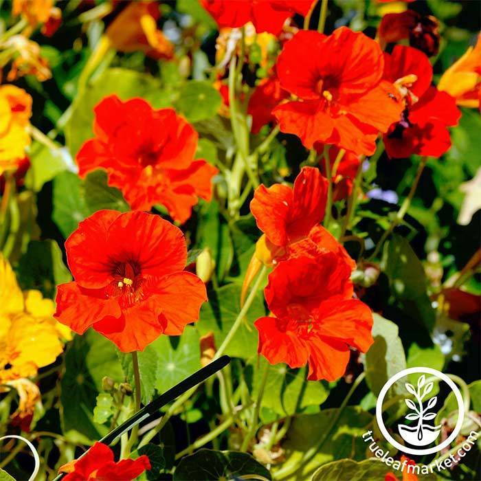 Nasturtium - Jewel Mix Flower and Microgreen Seed