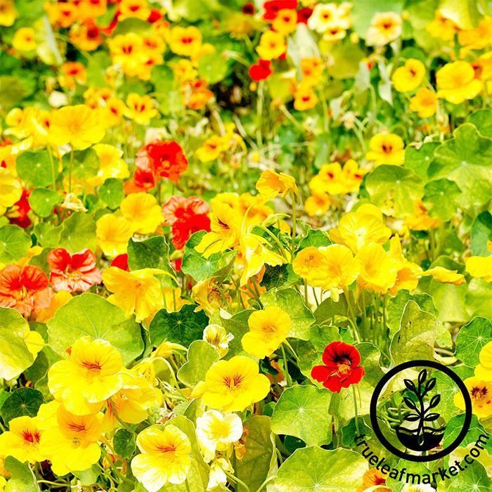 Nasturtium Edible Flower Seeds - Whirlybird Mix Full Grown