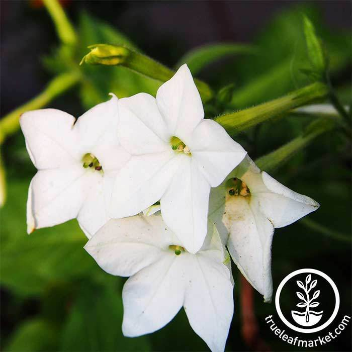 Nicotiana Starmaker Series White Seed