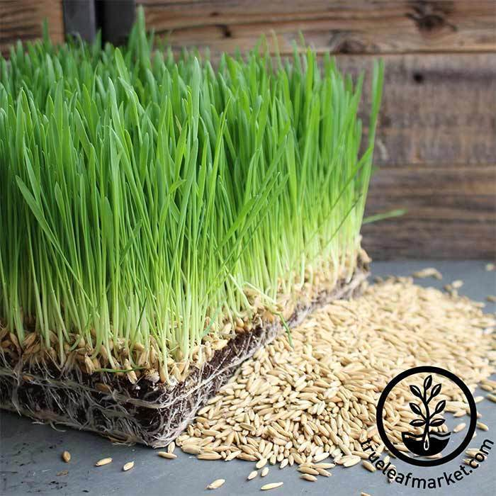 Oats - Whole (organic) - Grass Seeds