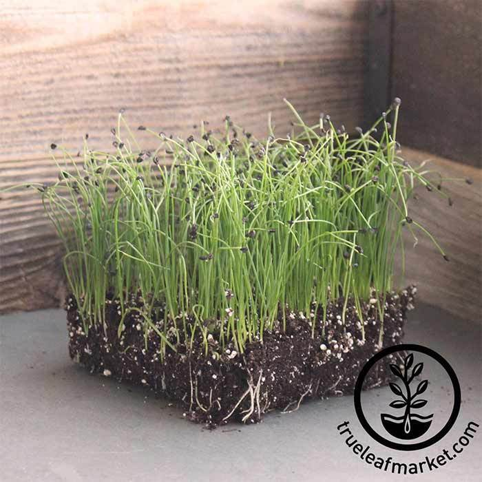 Onion - Bunching - Evergreen (organic) - Microgreens Seeds