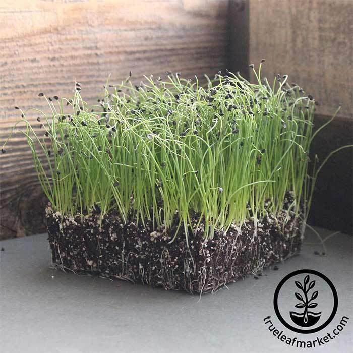 Onion - Bunching - Tokyo Long White - Microgreens Seeds