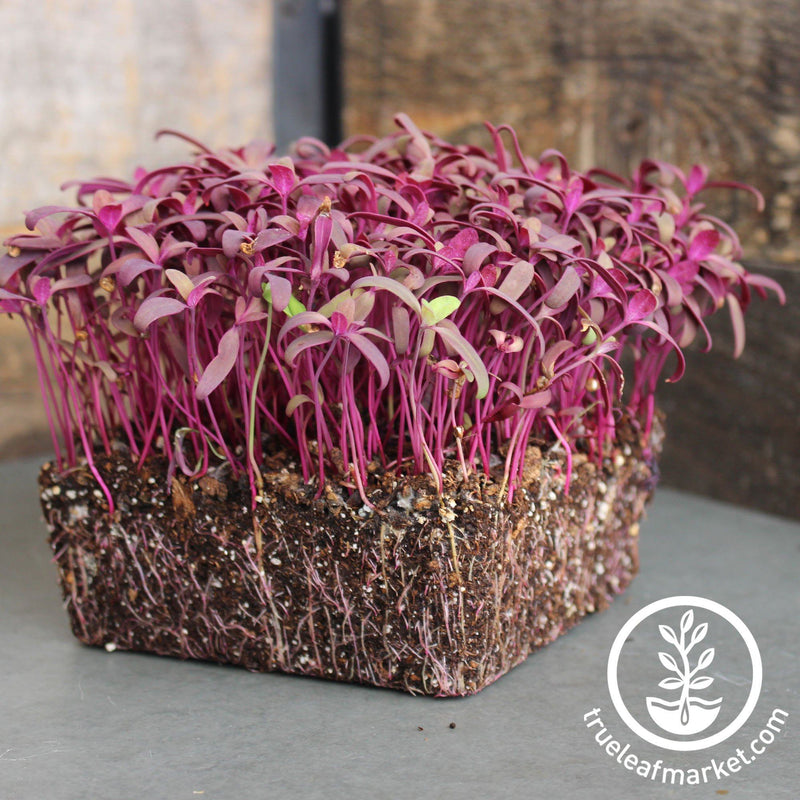 Orach - Purple - Microgreens Seeds