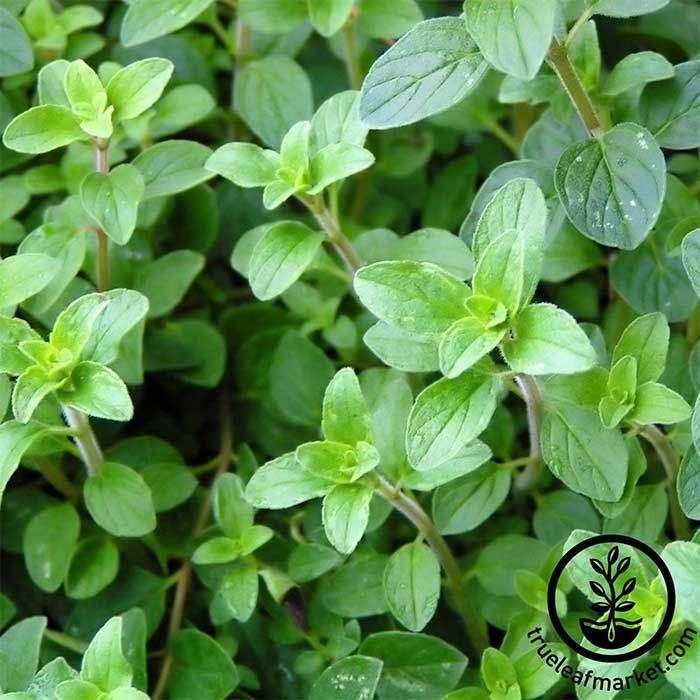 Oregano - Common Italian Herb Seed