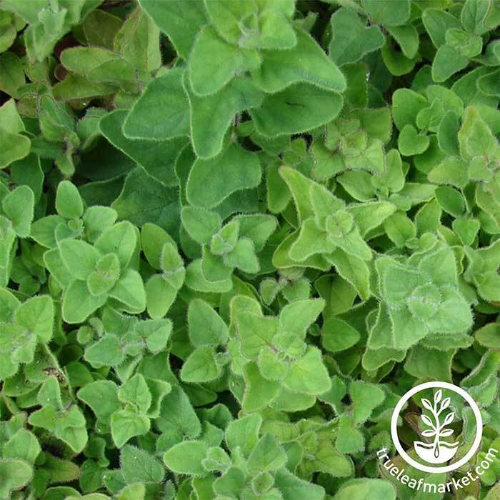 Oregano - Greek Herb Seed