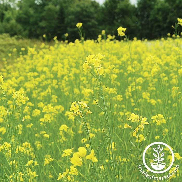 Mustard Seeds - Pacific Gold - Mighty Mustard® - Cover Crop
