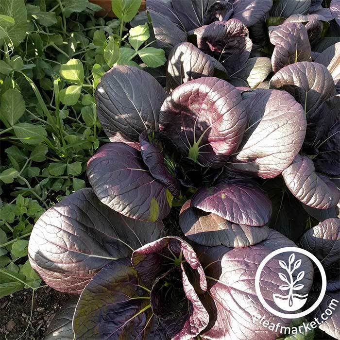 Cabbage Seeds - Pak Choi Tasty Pagoda Purple Hybrid Grown