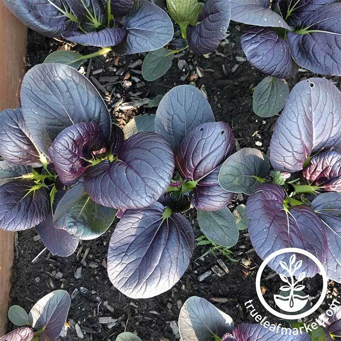 Cabbage Seeds - Pak Choi Tasty Pagoda Purple Hybrid