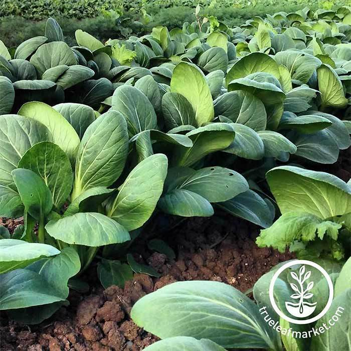 Cabbage Pak Choi White Stem Seed