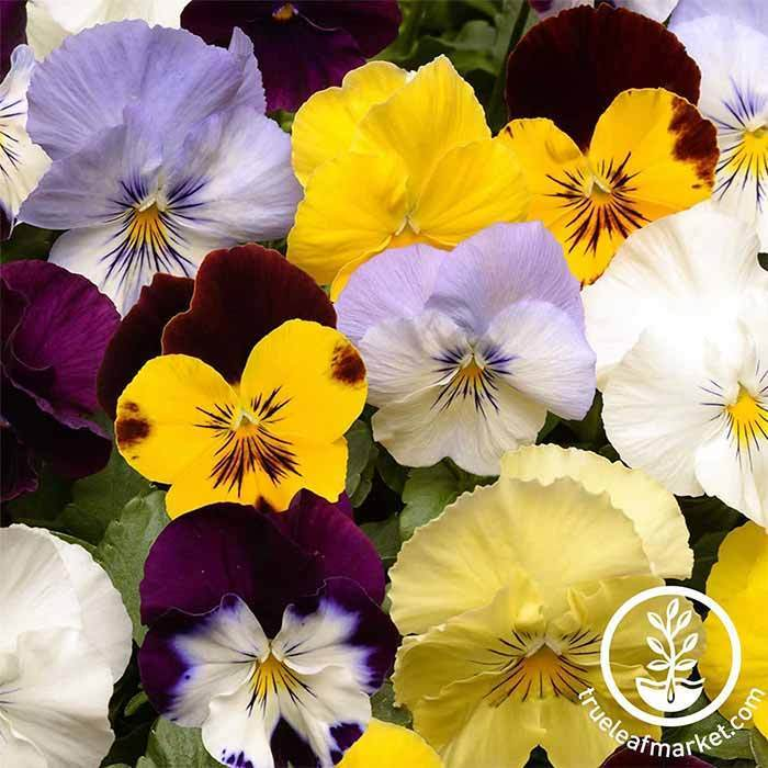 Pansy Cool Wave Series Mix Seed