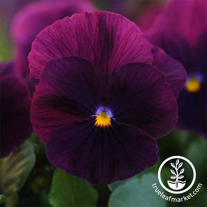 Pansy Cool Wave Series Purple Seed