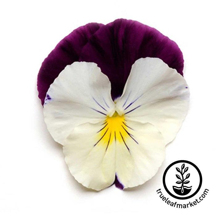 Pansy Cool Wave Series Violet Wing Seed