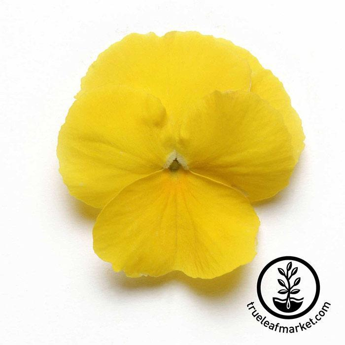 Pansy Cool Wave Series Yellow Seed