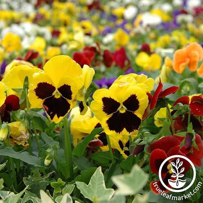 Pansy Swiss Giant Mixture Seed