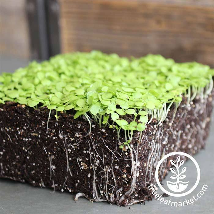 Paracress - Microgreens Seeds