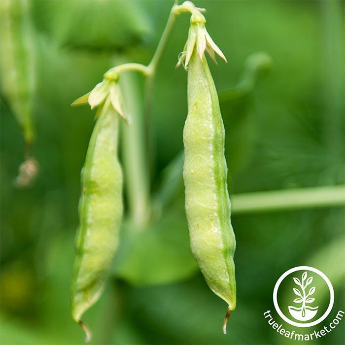 Pea Seeds - Yellow - Organic - Cover Crop Seeds