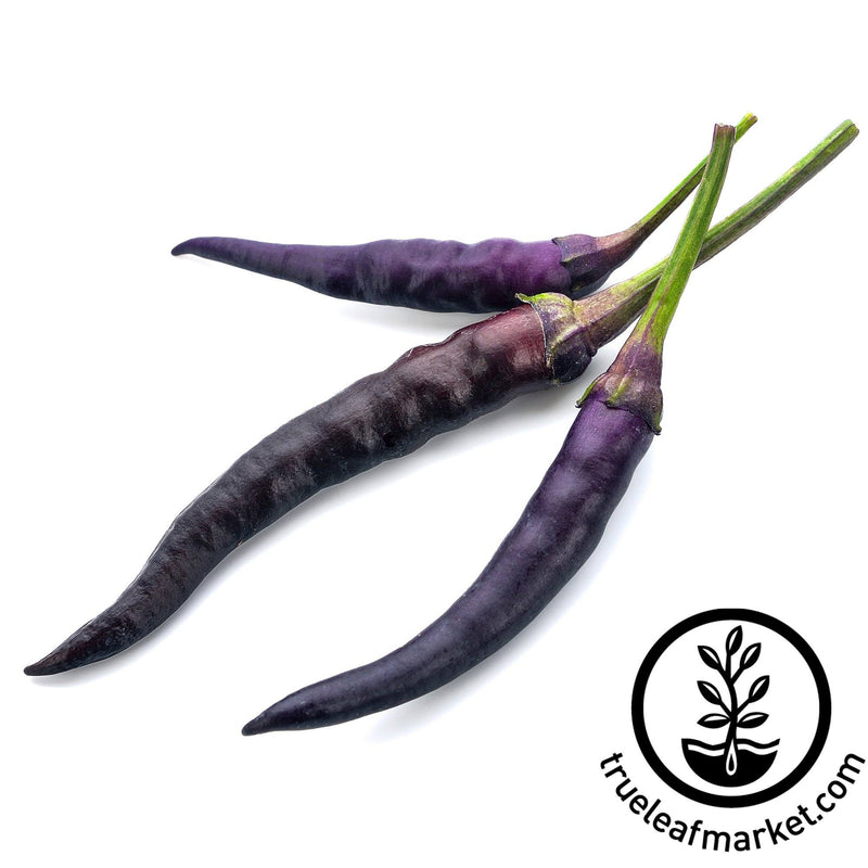 hot cayenne purple pepper