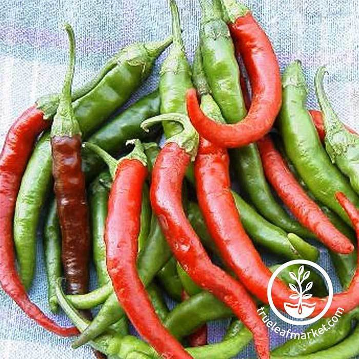 Hot Pepper - Cayenne Long Slim