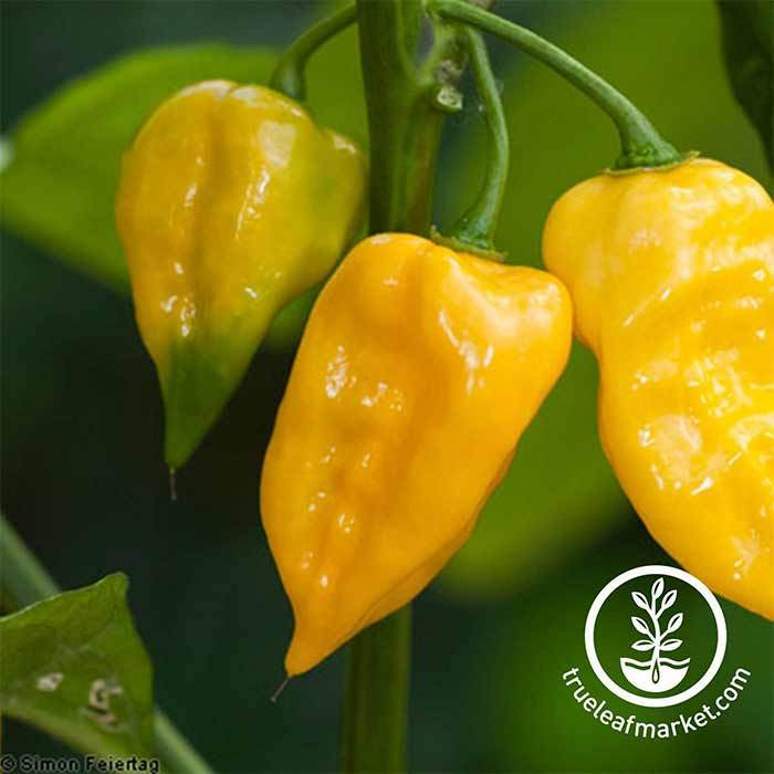Hot Pepper - Lemon Habanero