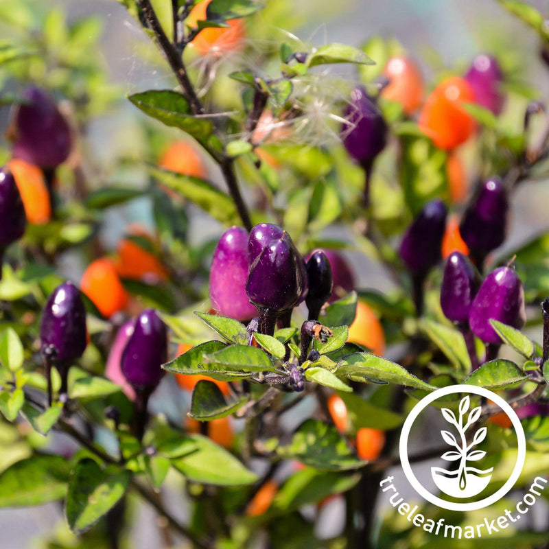 Pepper Seeds - Hot - NuMex Twilight