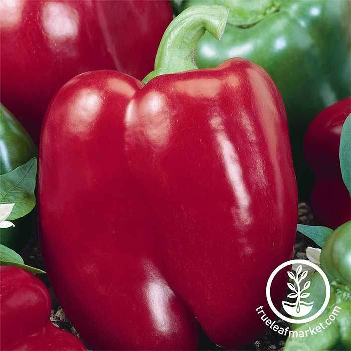 Sweet Pepper - Big Red