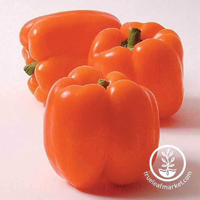 Sweet Pepper - Horizon Orange