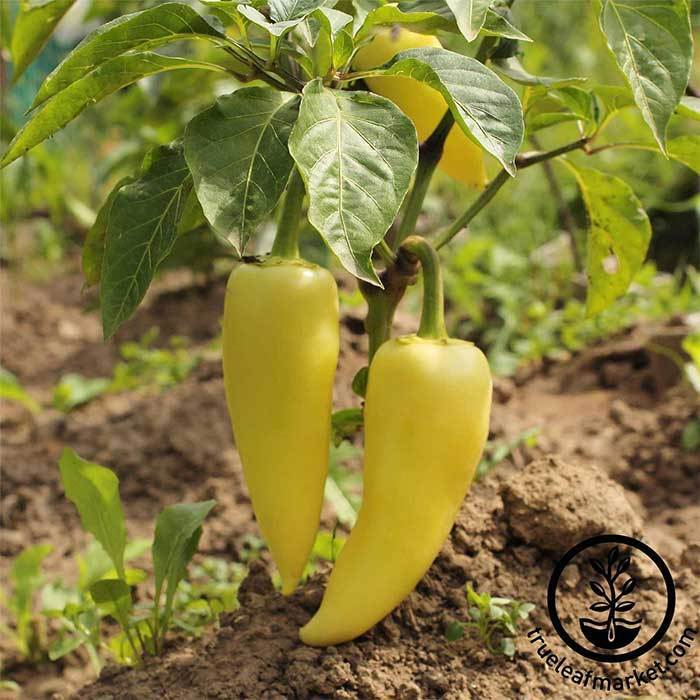 Sweet Pepper - Hungarian Yellow Wax Sweet