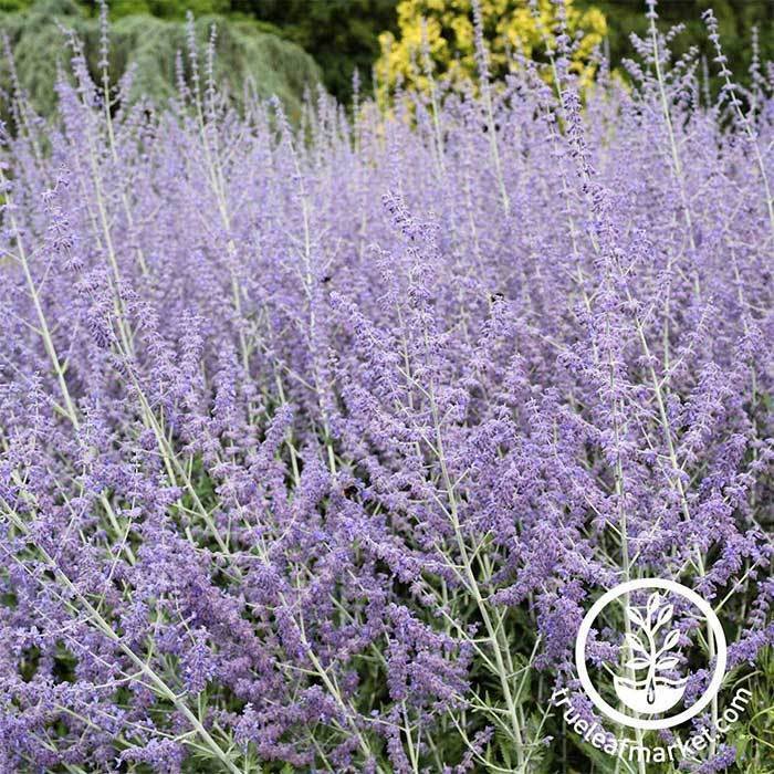 Russian Sage Perovskia Seeds - Blue Steel