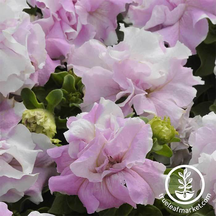 Petunia - Double Cascade Series - Orchid Mist