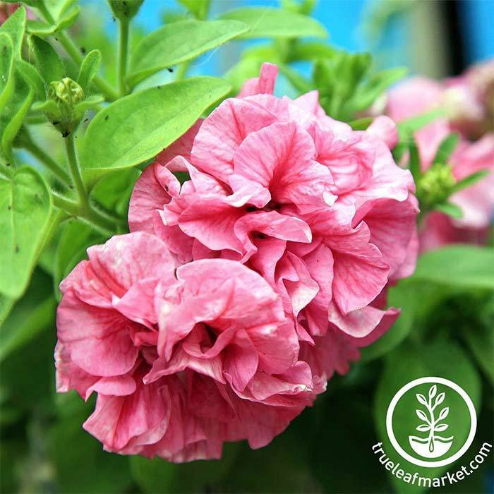 Petunia - Double Cascade Series - Pink