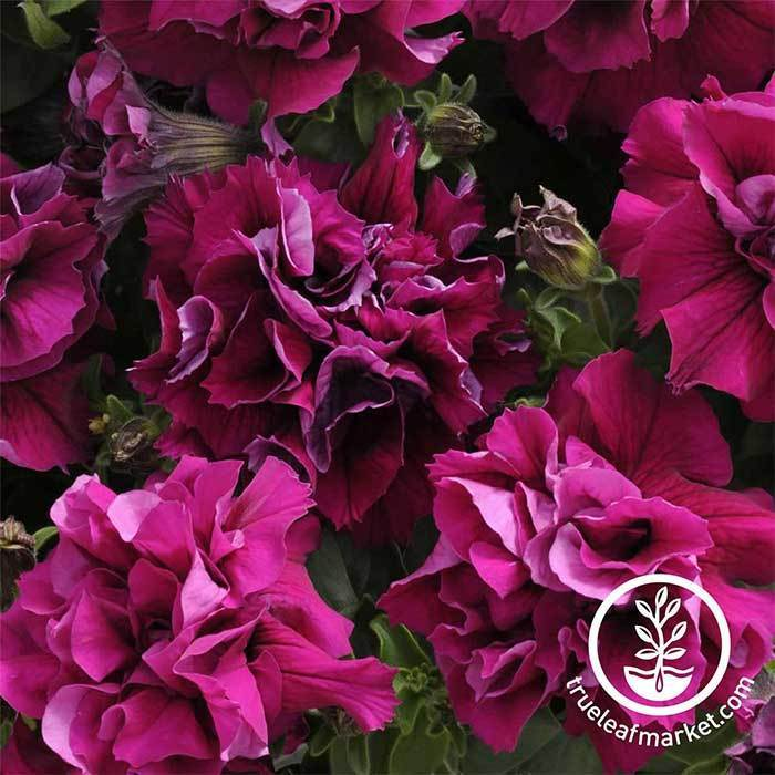 Petunia - Double Madness Series - Burgundy