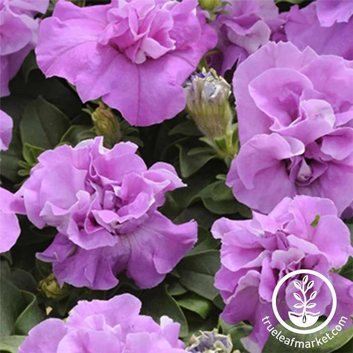 Petunia - Double Madness Series - Lavender