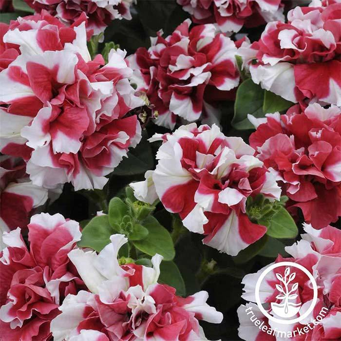 Petunia - Double Madness Series - Red & White