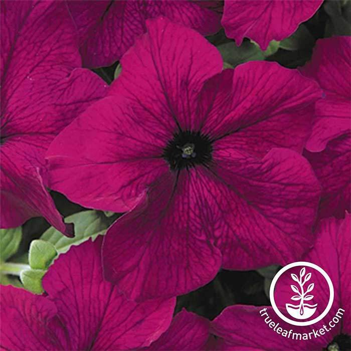Petunia - Dreams Series - Burgundy