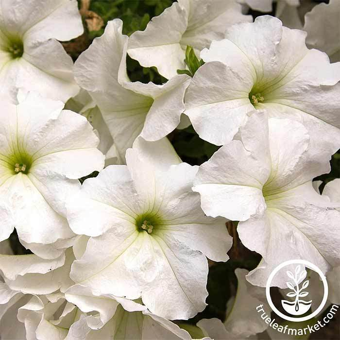 Petunia - Dreams Series - White