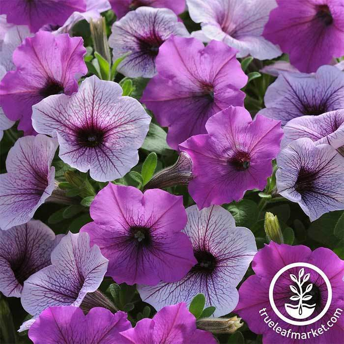 Petunia - Easy Wave Series - Plum Pudding Mix