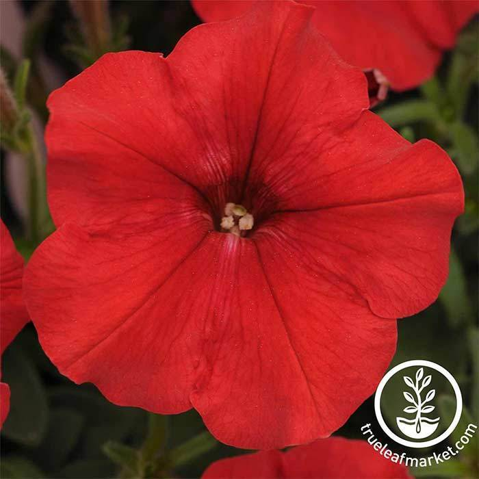 Petunia - Easy Wave Series - Red
