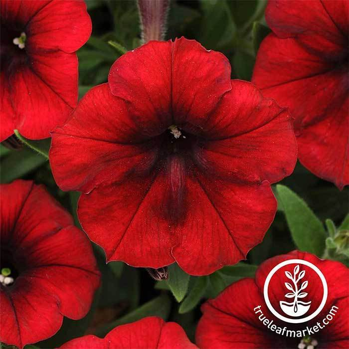 Petunia - Easy Wave Series - Red velour