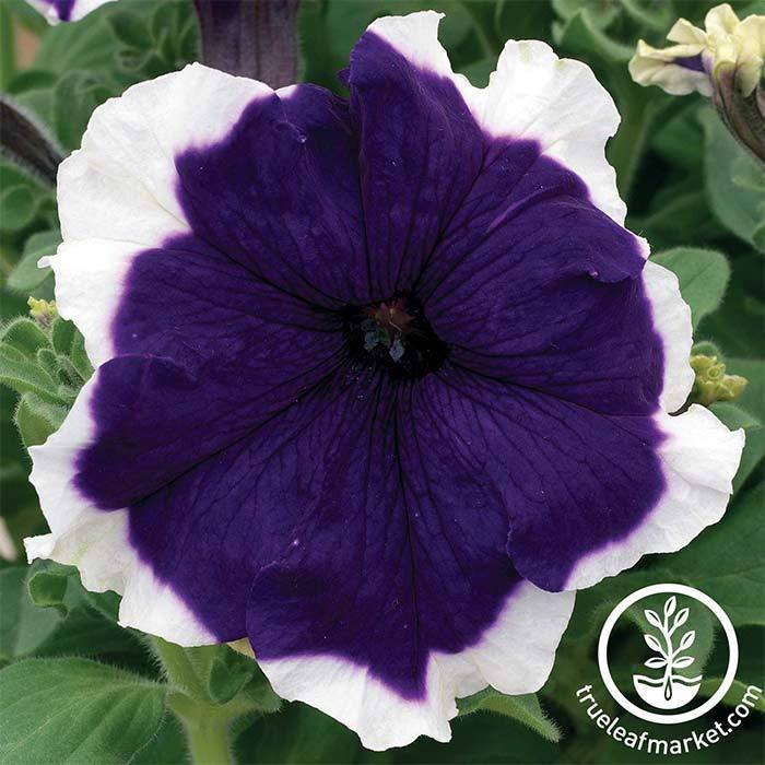 Petunia - Frost Series - Blue