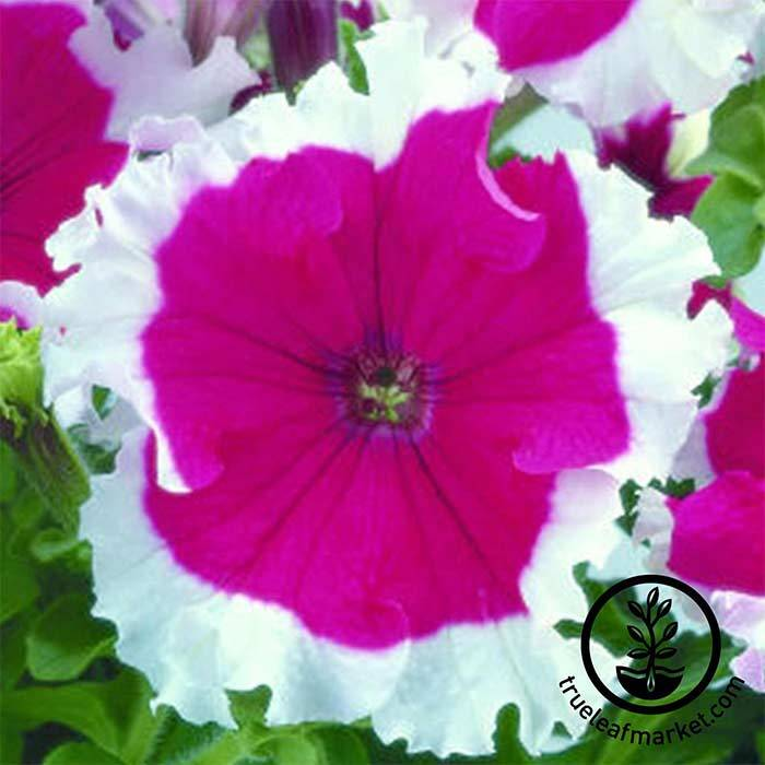 Petunia - Frost Series - Cherry