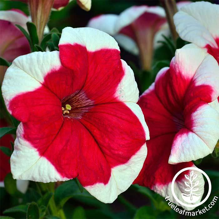 Petunia - Hulahoop Series - Red