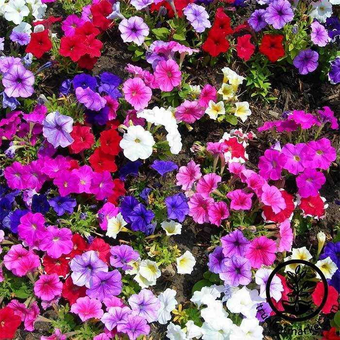Petunia - Madness Series - Moonlight Mix